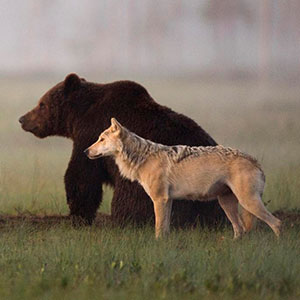 rare-animal-friendship-gray-wolf-brown-bear-lassi-rautiainen-finland-thumb